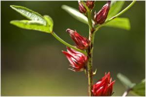 Hibiscus e suas propriedades funcionais