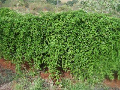 Guaco, a planta para os problemas respiratórios